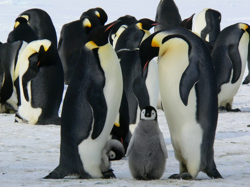 penguins-emperor-antarctic-life-52509-large