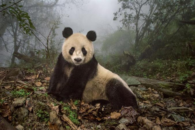Ye Ye panda